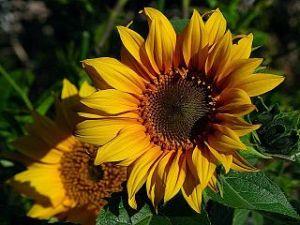 320px-Sunflowers_yellow